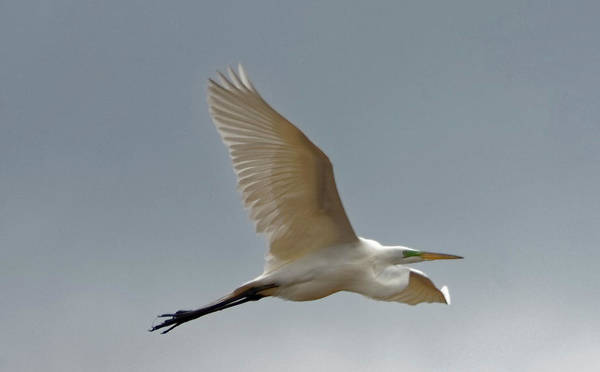 Photograph - Flight Of The White Egret by Peter Ponzio