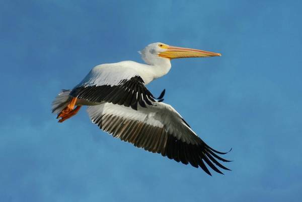 Photograph - Flight Of The White Pelican by Fraida Gutovich