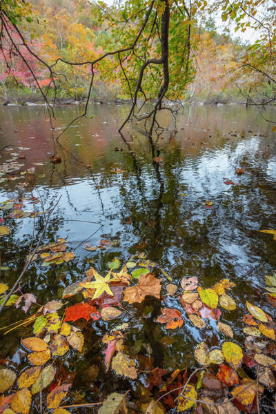 Photograph - Floating Autumn Leaves  by Debra and Dave Vanderlaan