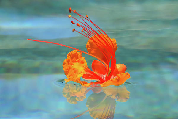 Photograph - Floating Bird Of Paradise 1 by Dawn Richards