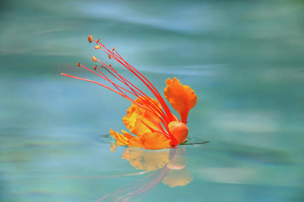 Photograph - Floating Bird Of Paradise 2 by Dawn Richards