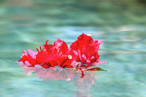 Photograph - Floating Bouganvillea by Dawn Richards