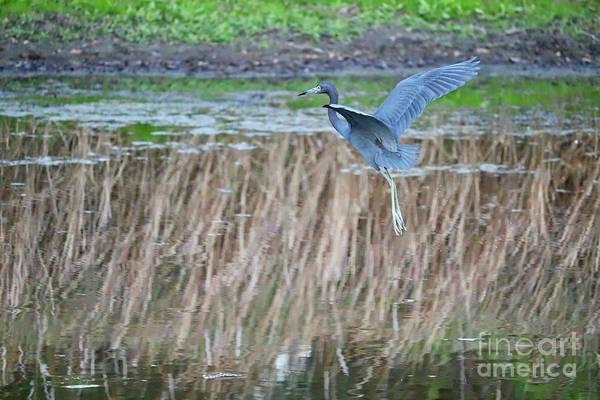 Little Blue Heron Photograph - Floating In Flight by Carol Groenen