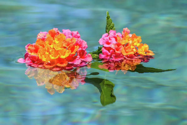 Photograph - Floating Lantana by Dawn Richards