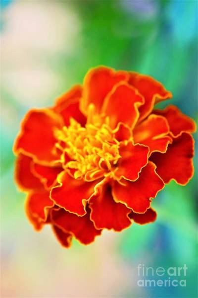 Photograph - Floating Marigold by Patti Whitten