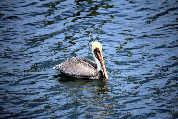 Photograph - Floating Pelican by Cynthia Guinn