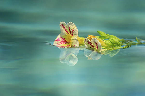 Photograph - Floating Petunia by Dawn Richards