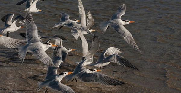 Wall Art - Photograph - Flock Of Royal Terns In Flight by Melinda Moore