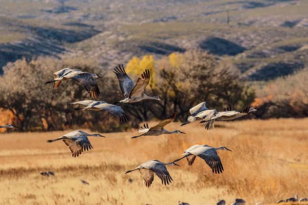 Wall Art - Photograph - Flock Of Sandhill Cranes Taking by Adam Jones