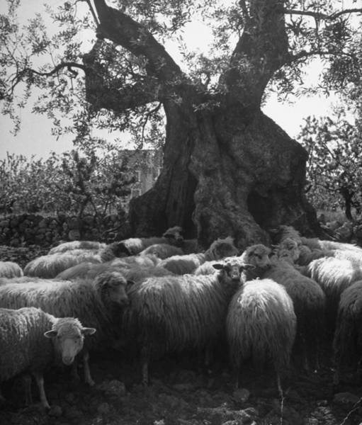 Wall Art - Photograph - Flock Of Sheep Under An Olive Tree by Alfred Eisenstaedt