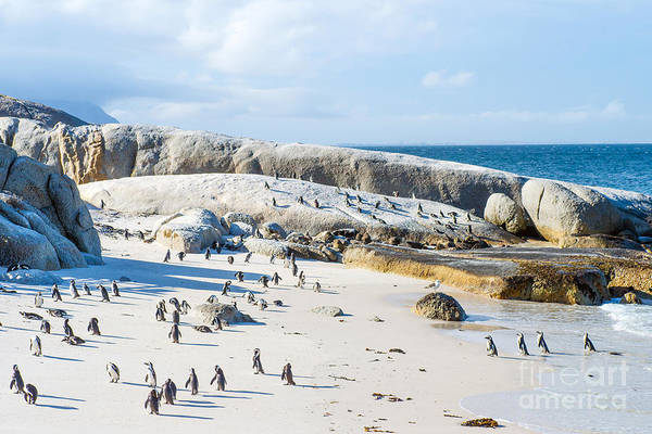 South Atlantic Wall Art - Photograph - Flock Of Small African Penguins At by Allen.g