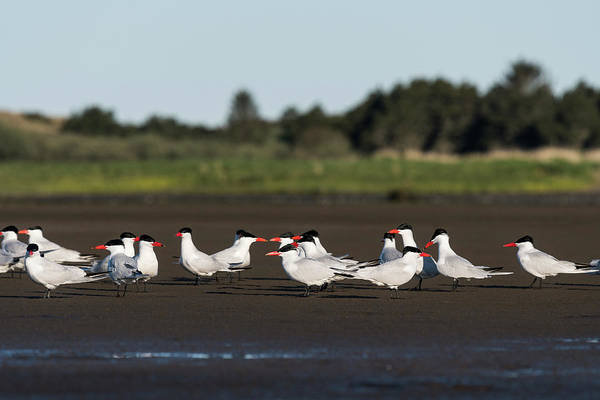 Photograph - Flock Of Terns by Robert Potts