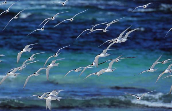Wall Art - Photograph - Flock Of Terns by Theo Allofs