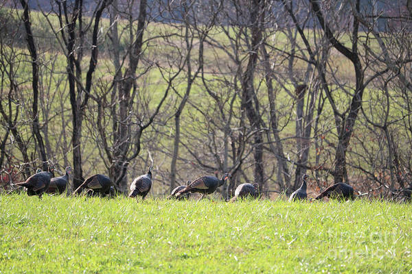 Wall Art - Photograph - Flock Of Turkeys by Carol Groenen
