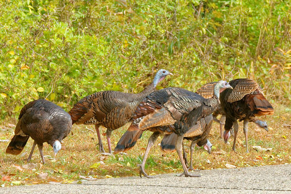 Photograph - Flock Of Turkeys by Peter Ponzio