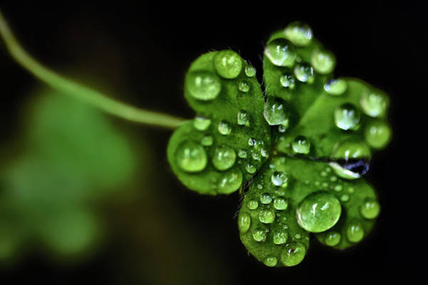Four Leaf Clover Photograph - Flora by © Ho Soo Khim