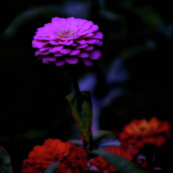 Wall Art - Photograph - Floral Zinnia Bright Purple Sq Format by Thomas Woolworth