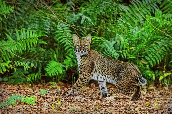 Photograph - Florida Bobcat by Kay Brewer
