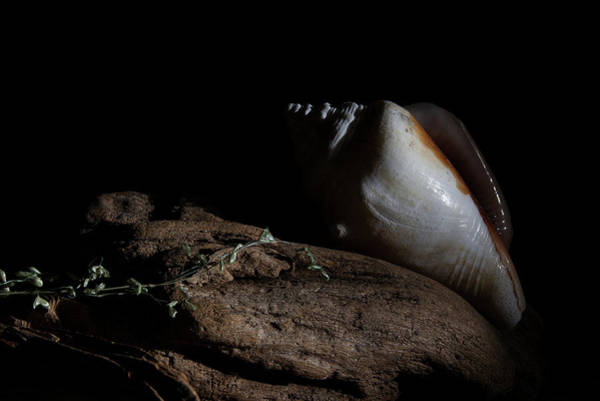 Photograph - Florida Cone Shell On Driftwood by Richard Rizzo