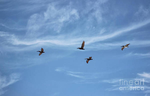 Photograph - Florida Flight Formation - Pelicans by Karen Adams