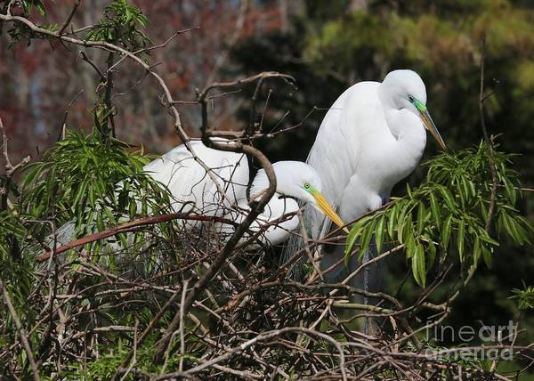 Wall Art - Photograph - Florida Great Egrets On Nest by Carol Groenen