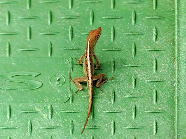 Brown Anole Wall Art - Photograph - Florida Lizard On A Green Background by Lyuba Filatova