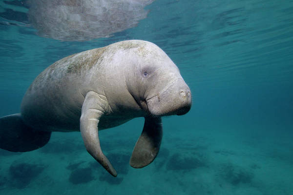 Manatee Photograph - Florida Manatee In The Crystal River by Stephen Frink