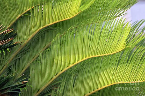 Photograph - Florida Palm Feathers by Karen Adams