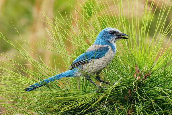 Scrub Jay Photograph - Florida Scrub Jay, Aphelocoma by Adam Jones