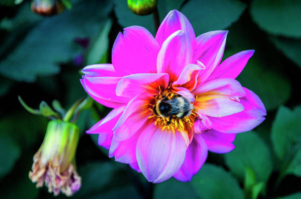 Photograph - Flower And Bee At Lake Zurich 2 by Pablo Lopez