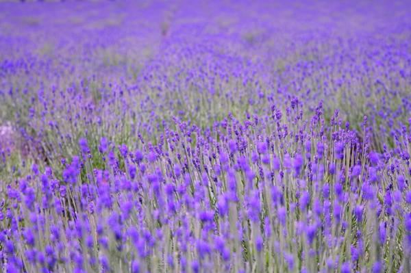 Wall Art - Photograph - Flower Field In Hokkaido, Lavender by imagemore Co., Ltd.