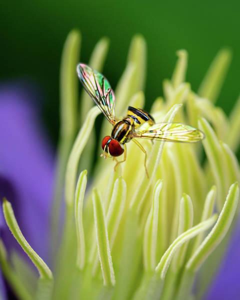 Photograph - Flower Fly On Clematis Stamens by Robert FERD Frank