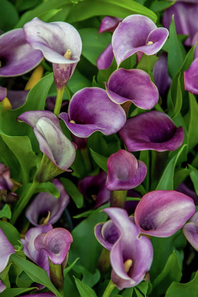Calla Lilies Photograph - Flower Patterns Collection Set 08 by Az Jackson