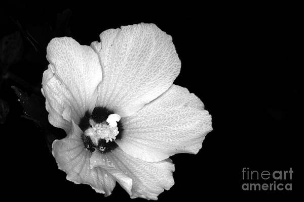 Wall Art - Photograph - Flower-pink Rose Of Sharon Infrared by Paul Ward