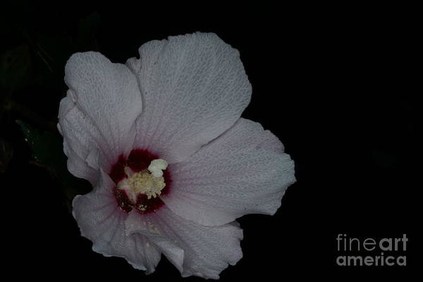 Wall Art - Photograph - Flower-pink Rose Of Sharon by Paul Ward