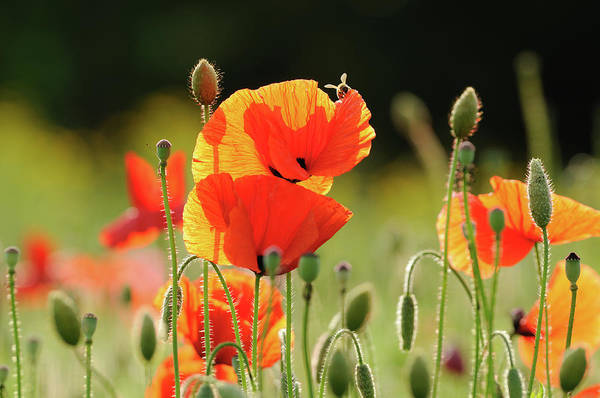 South Rim Photograph - Flower - Poppy And Bee by Hunyoung Rim