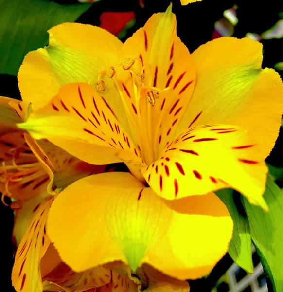 Photograph - Flower Power Aloha In Yellow by Joalene Young