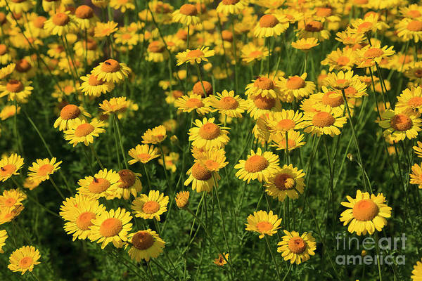 Photograph - Flowerbed Of Yellow Daisies In The Summertime by Jill Lang