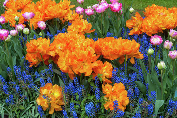 Wall Art - Photograph - Flowerbed With Tulip Orca And Muscari by Jenny Rainbow