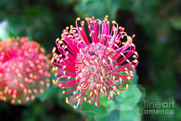 Wall Art - Photograph - Flowerhead Of A Hakea - Australian by Cloudia Spinner