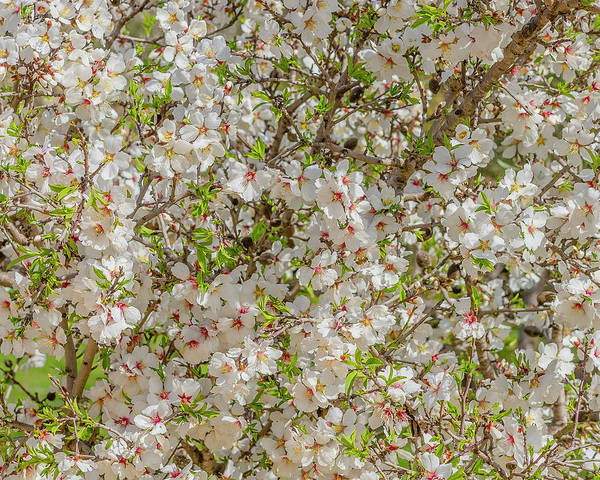 Wall Art - Photograph - Flowering Almond In Jerusalem by Morris Finkelstein