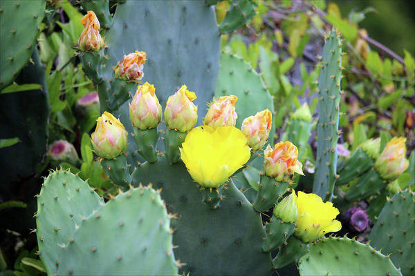 Photograph - Flowering Cactus by Cynthia Guinn