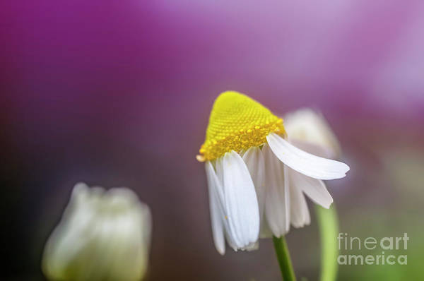 Wall Art - Photograph - Flowering Common Chamomile H2 by Ilan Rosen