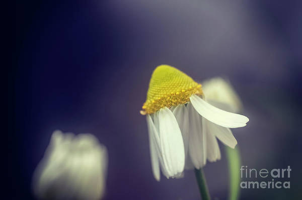 Wall Art - Photograph - Flowering Common Chamomile H3 by Ilan Rosen