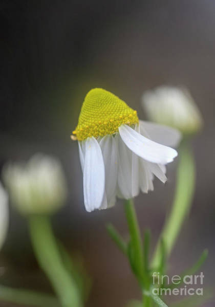 Wall Art - Photograph - Flowering Common Chamomile H4 by Ilan Rosen