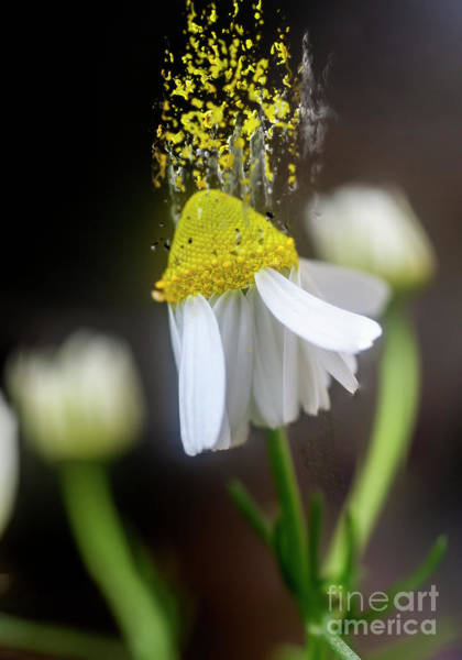 Wall Art - Photograph - Flowering Common Chamomile H7 by Humorous Quotes
