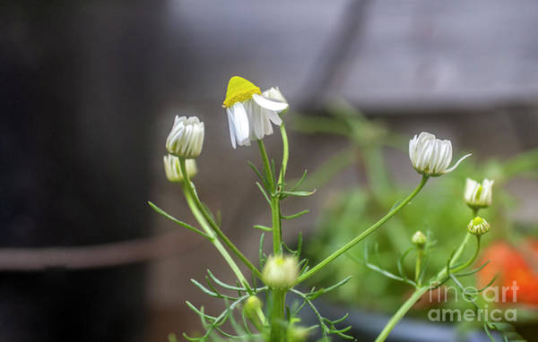Wall Art - Photograph - Flowering Common Chamomile H8 by Ilan Rosen