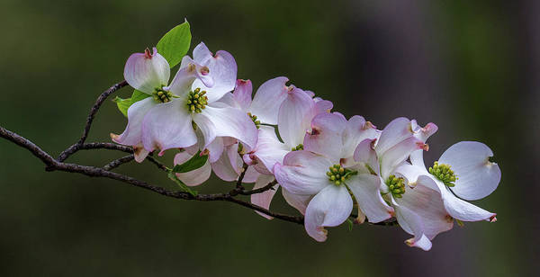 Photograph - Flowering Dogwood by Jerry Gammon