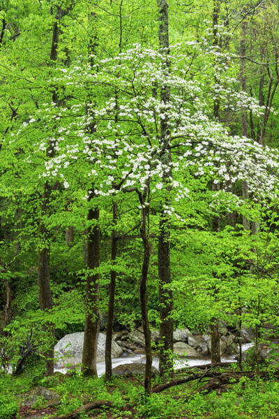 Southern Usa Photograph - Flowering Dogwood Tree by Kencanning
