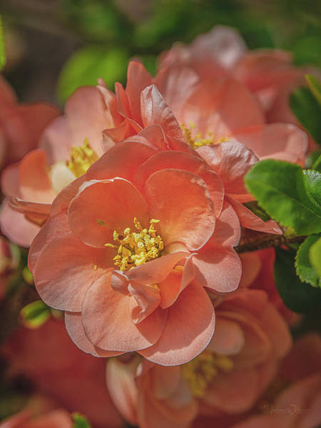 Photograph - Flowering Quince Blossoms By Tl Wilson Photography by Teresa Wilson